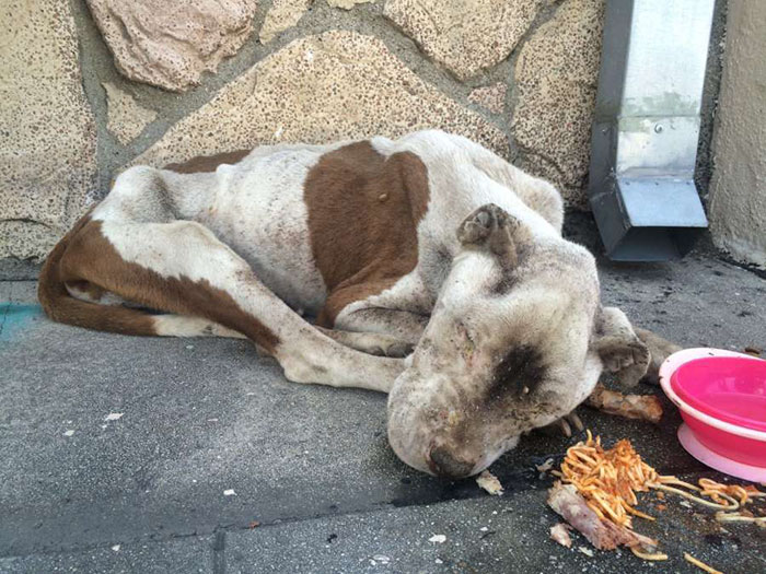 starved-pit-bull-found-sidewalk-spirit-los-angeles-1
