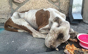 Starving Dog Found Dying On A Sidewalk Gets Some Love, And It's Hard To Believe It's The Same Dog
