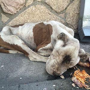 Este perro desnutrido y moribundo fue encontrado en una acera, está irreconocible tras recibir un poco de amor