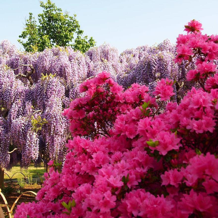 Tochigi-wisteria-festival-japan