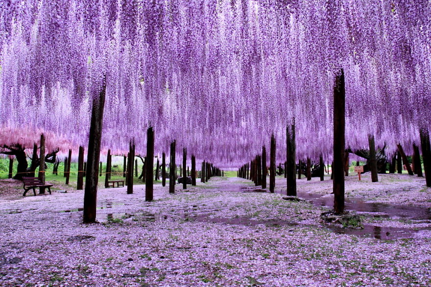 Wisteria Trees In Japan Woahdude - Beautiful wisteria plant japan 144 years old