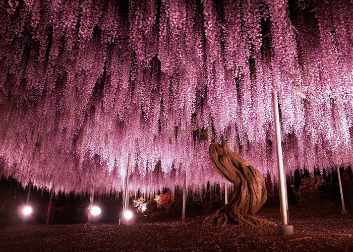 110 Reasons You Should Drop Everything And Go To Japan's Wisteria Festival ASAP