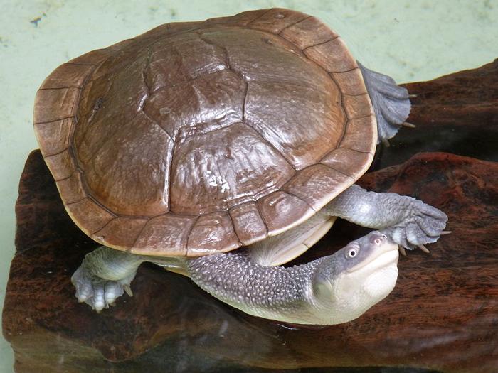 Mccord's Snakeneck Turtle