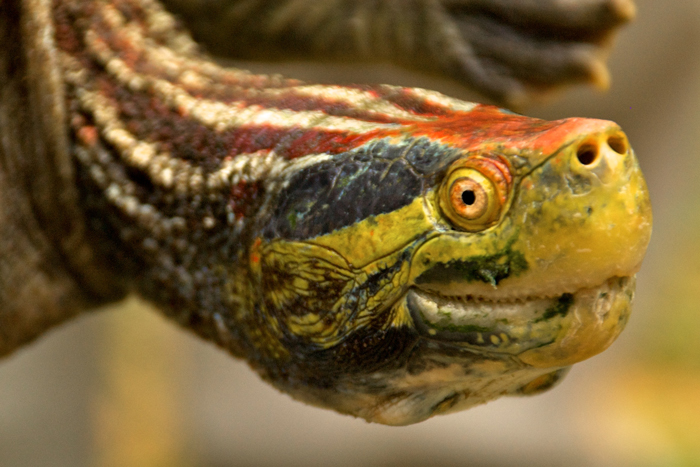 Red-crowned Roofed Turtle