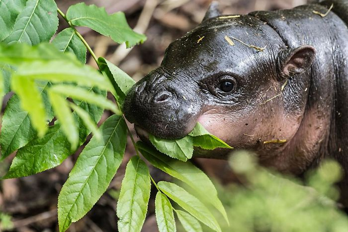 The Pygmy Hippopotamus