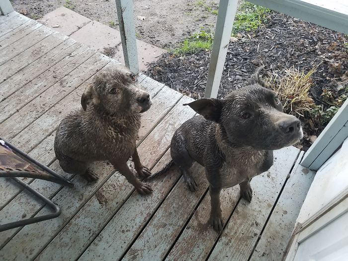 Has Anyone Seen Our Mutts? These Two Chocolate Labs Showed Up Instead.