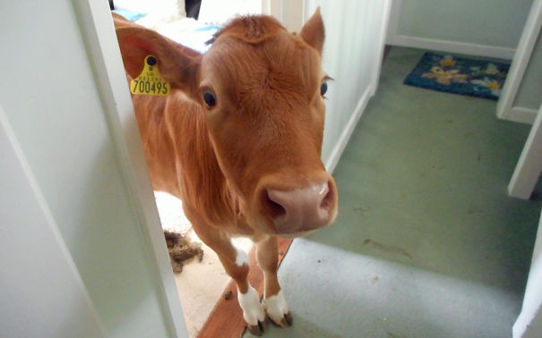 A Guernsey Woman Forgot To Lock A Door And Found This Guy Inside