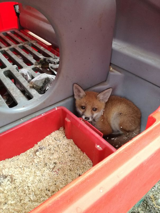 A Cub Snuck Into Our Chicken Pen And Fell Asleep, Without Harming Any Of Our Chickens