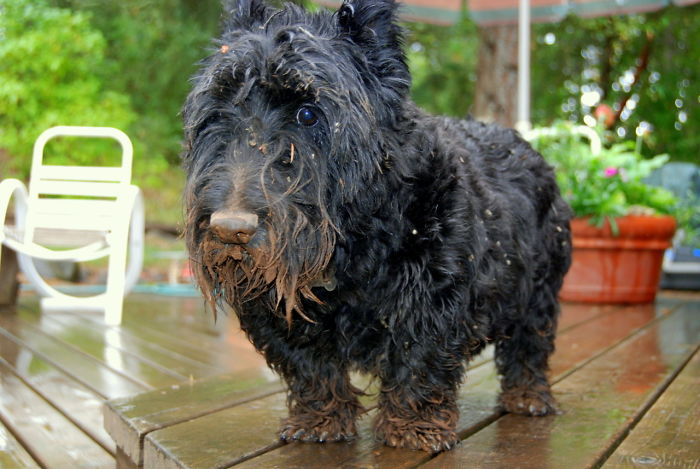 I Just Love This Picture Of My Dog Covered In Mud, Looking Guilty After I Caught Him Digging Up The Yard In Pursuit Of A Mole