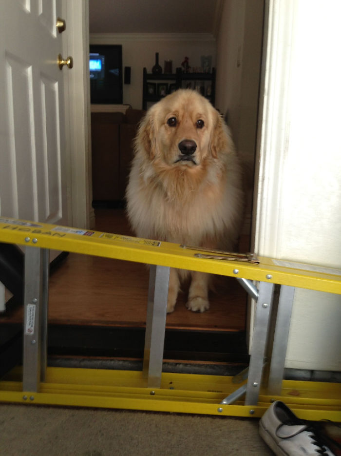 My Golden Retriever Is To Scared To Jump This Ladder That Is Half The Size Of Him