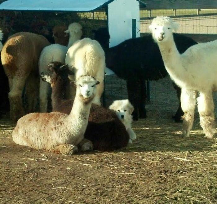 Le daba miedo el cortacésped, así que se escondió con las alpacas