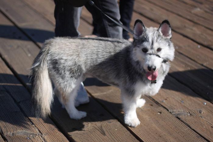 Corgi + Siberian Husky