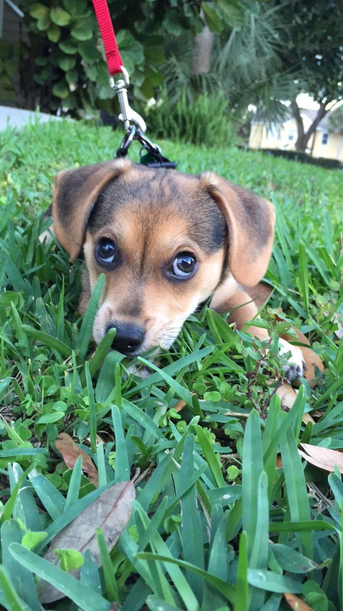 Corgi + Beagle