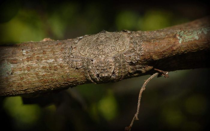 Araña envolvente