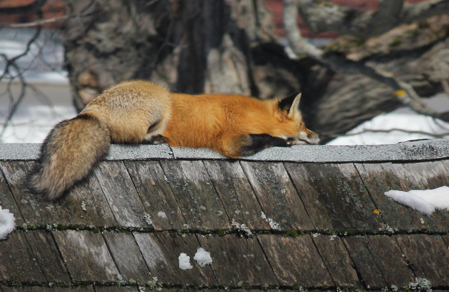 Meet Zorro The Fox Who Visits Me Every Day For The Last 3 Winters
