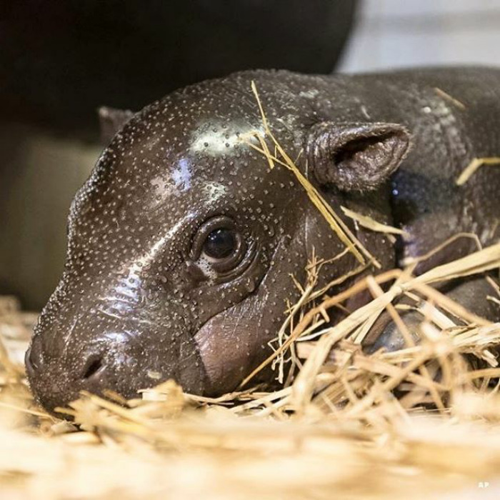 A Two-week-old Pygmy Hippopotamus (choeropsis Liberiensis) Rests In The Hippopotamus  enclosure In Nyiregyhaza Animal Park In Nyiregyhaza, 227 Kms East Of Budapest, Hungary. |📷: Ap . .