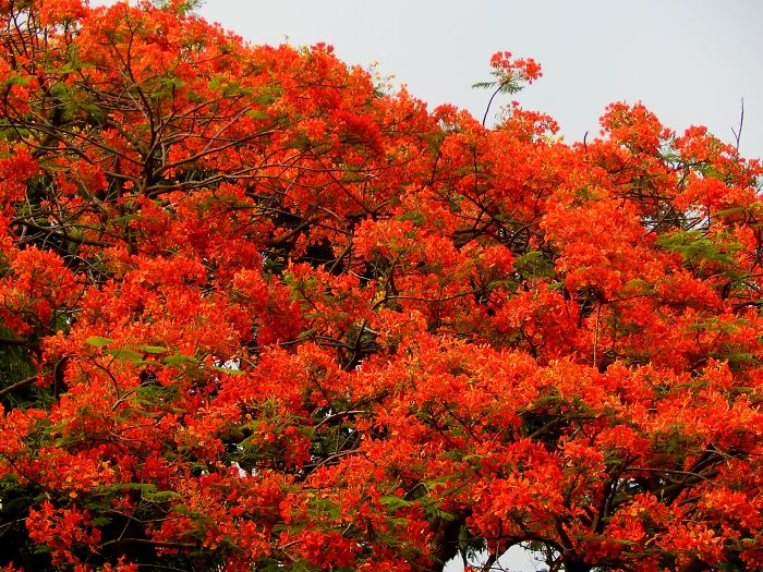 I Thought Of Getting Friendly With The Most Colourful Tree Blossom In India – Gulmohar