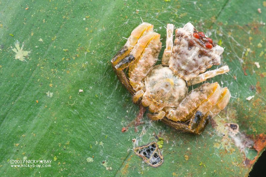 Splatter Poop Dung Spider