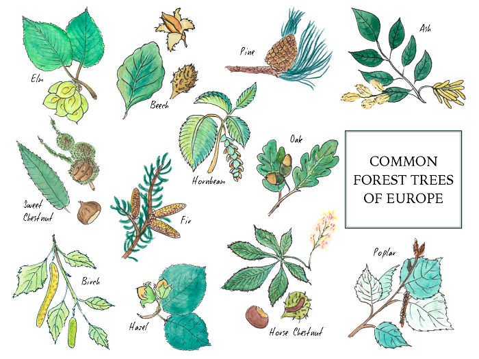 A Mini Guide About European Forest Trees