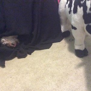 My Dog , Lillie Is Afraid Of A Stuffed Cow I Have
