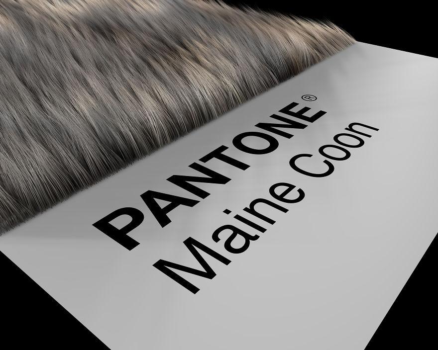 Maine Coon Prospective