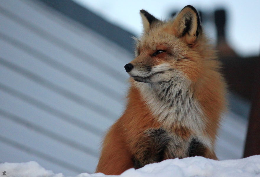 Meet Zorro The Fox Who Visits Me Every Day For The Last 3