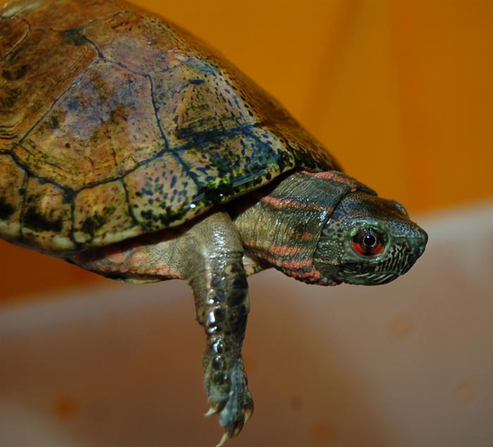 Beal's Eyed Turtle