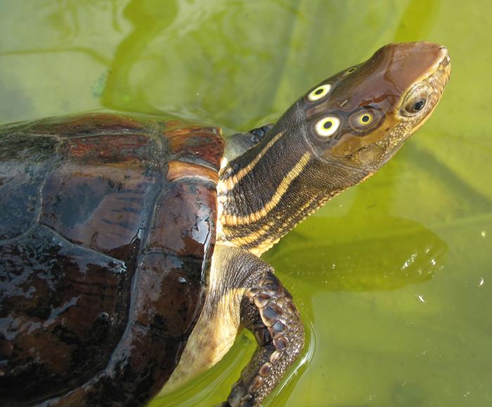Four-eyed Turtle
