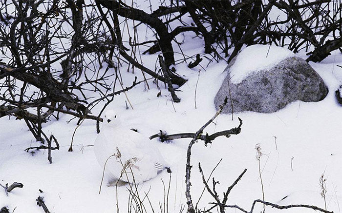 Willow Ptarmigan
