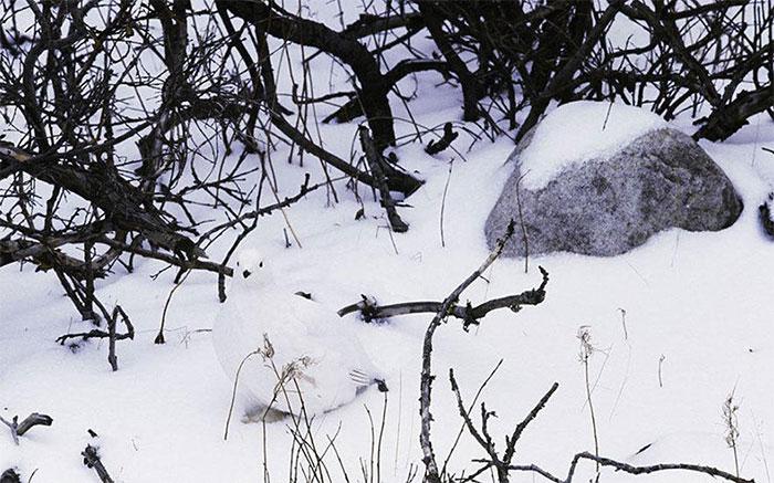 Lagópodo escandinavo