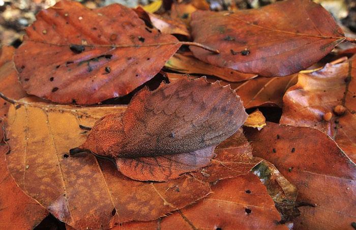 Mappet Leaf Moth