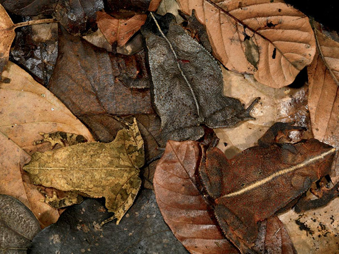 Leaf-Litter Toads