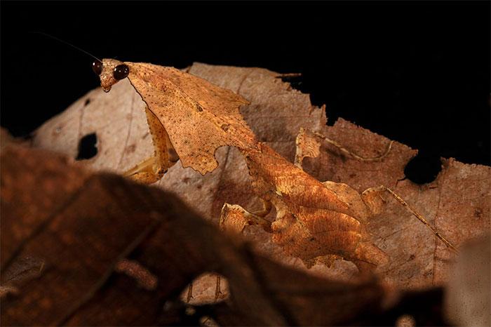 Leaf-Litter Mantid