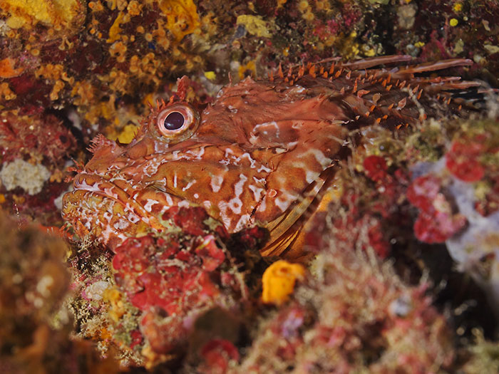 Great Rockfish