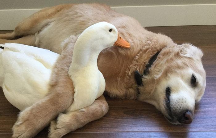 animal-friends-dog-barclay-pekin-duck-rudy-3