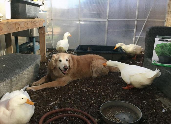 animal-friends-dog-barclay-pekin-duck-rudy-6