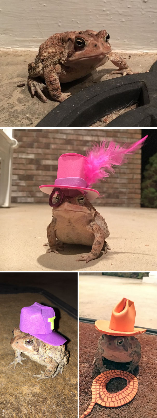This Toad Kept Coming To My Porch, So I Started Making Him Tiny Hats