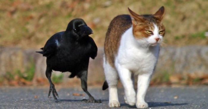 73 Pics That Prove Corvids Are The Biggest Baddasses In The Animal