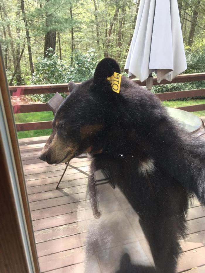 bear-smells-brownies-wants-get-inside-house-1