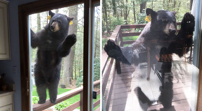 Bear Smells Brownies, Tries To Get Inside