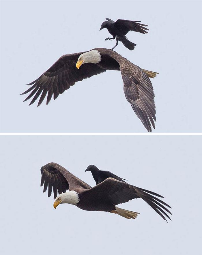 Cuervo montando un águila calva