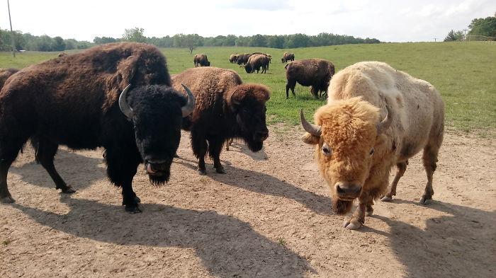 Where The Bread Eating Buffalo Roam