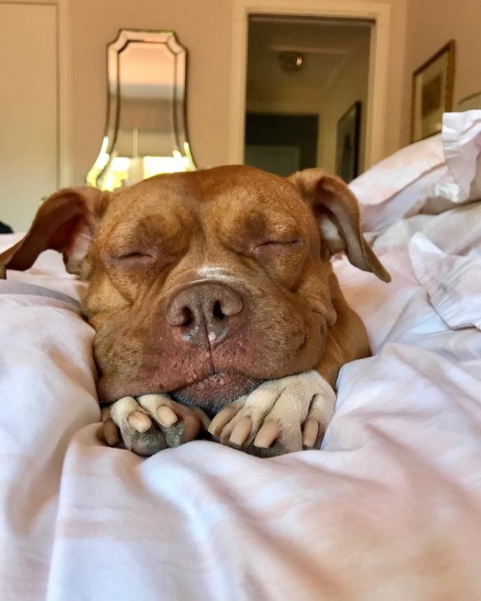 chained-rescue-pit-bull-enjoys-comfortable-beds-lola21