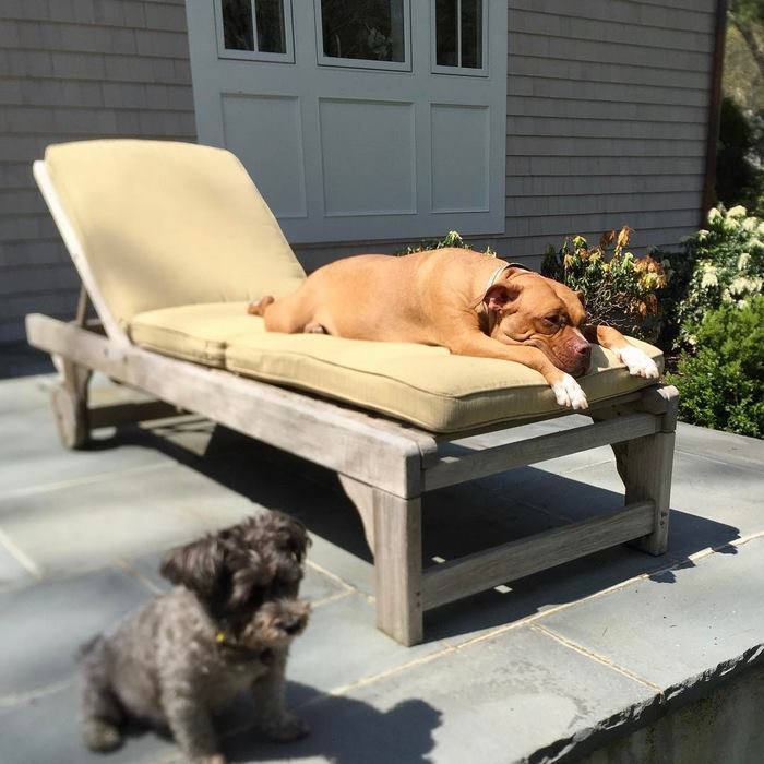 chained-rescue-pit-bull-enjoys-comfortable-beds-lola9