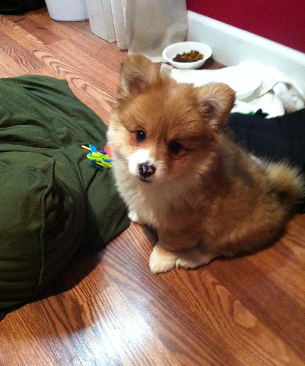 柯基犬和其它品种狗狗生的串串狗 都是什么样子?(28张)