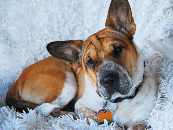 柯基犬和其它品种狗狗生的串串狗 都是什么样子?(28张)-玩意儿