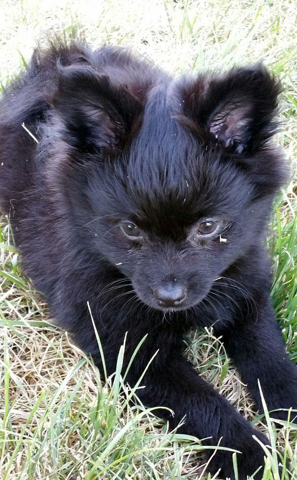 Corgi + Pomeranian