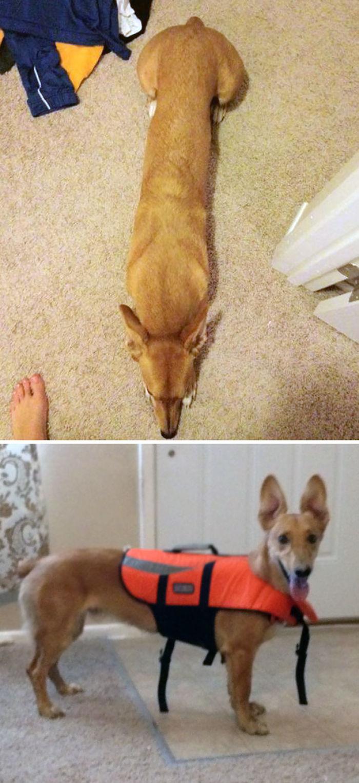 Corgi + Greyhound