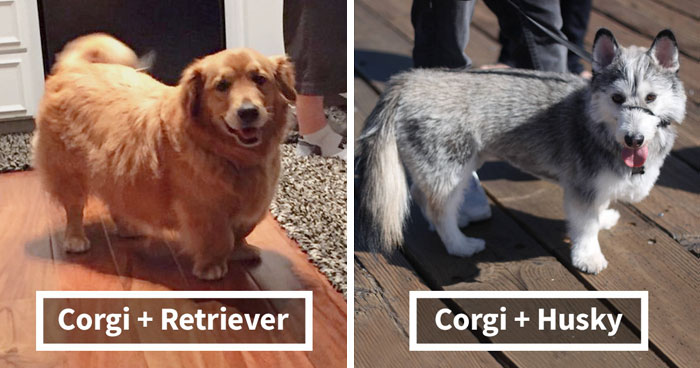 40 Times Corgis Mixed With Other Breeds, And The Result Was Absolutely Pawsome