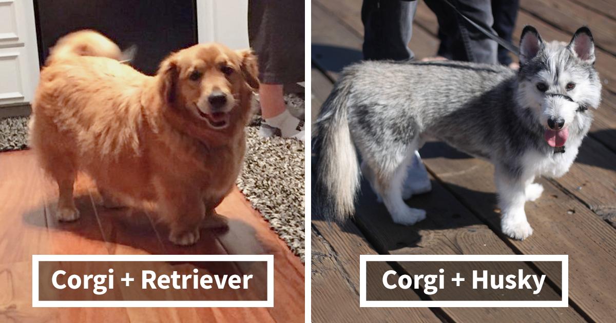 10+ Veces que cruzaron a Corgis con otras razas de perros y los resultados fueron geniales